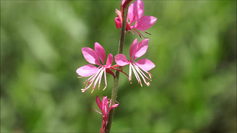 Wild pink flowers waving in the breeze with blurry back ground Live Action