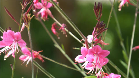 Close up shot to pink wild flowers waving in the wind Live Action