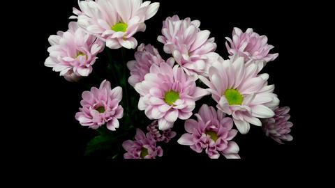Flowering of spray chrysanthemum Live Action