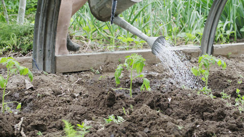 anonymous woman farmer watering seedlings from a watering can Footage