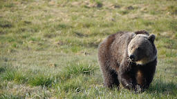 Bow Lake Grizzly Photo