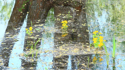 Caltha palustris growing in water of swamp. Spring flowers. Marsh Marigold Footage