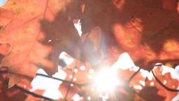 Autumn Leaves 7 Sunlight stock footage