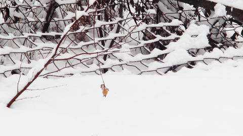 Dried leaves from a branch that hung over stretching of the snowfall during the  Footage