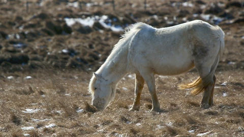 White Icelandic horse withstands the rough wind on a meadow Footage