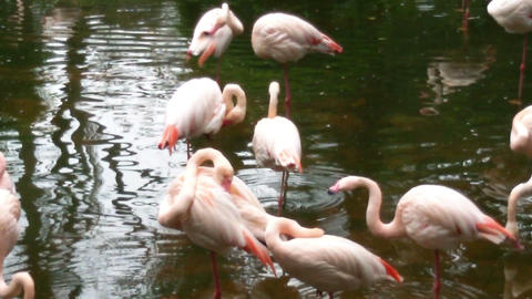 Flock of flamingos in the lake. Panorama Live Action