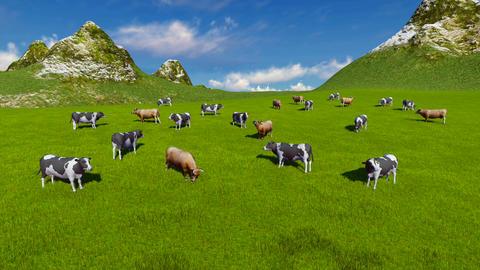 Herd of cows on alpine pasture Aerial view Footage