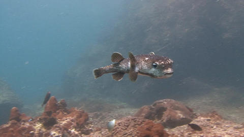 Entertaining puffer fish Footage