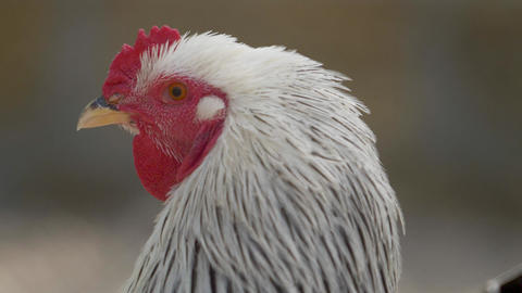 head of the white chicken cock in profile Live Action