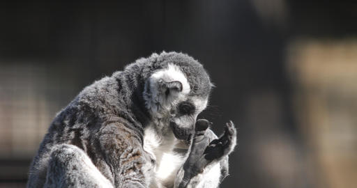a funny fluffy lemur basking in the sun and cleans his fur Footage