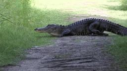 Large American alligator poops on a trail Footage