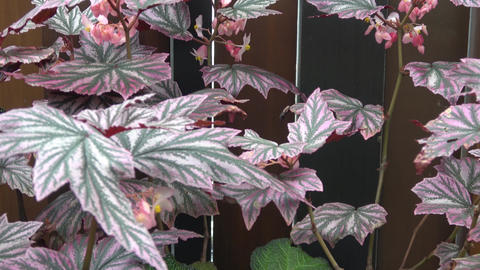 Begonia Pink Minx. Pink and green leaves Footage