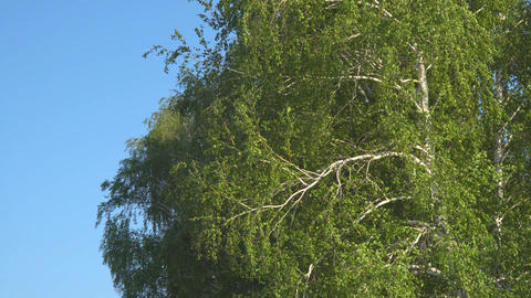 Branches and leaves of birch in the wind Footage