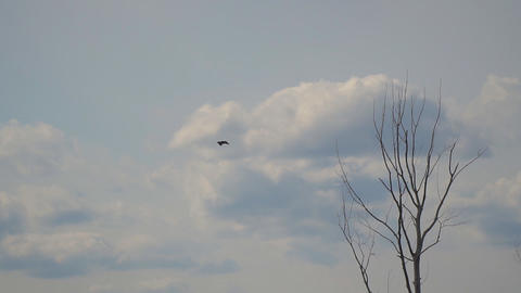 Bird Heron flies in the distance against the cloudy sky Live Action