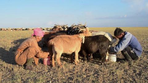 Herders milking flock of sheeps in Mongolia Footage