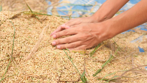 Asian Farmer Woman Holding Handful of Organic Rice at Harvest on Paddy Field Footage
