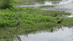 birds fighting for fish in Florida wetlands Footage