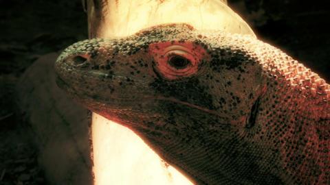 Komodo Dragon closeup Footage