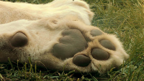 White Lions paw Live Action
