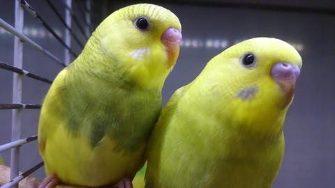 two yellow wavy parrots look at you Live Action