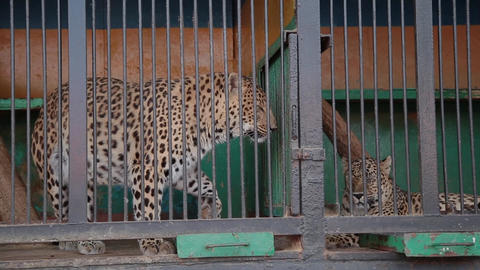 Cheetah in the cage in zoo Footage