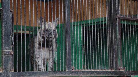 hyena, crocuta crocuta walking in a small cage of circus zoo GIF