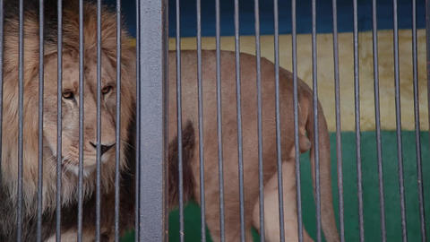 Beautiful lion with a big beautiful mane lies quietly,... Stock Video Footage