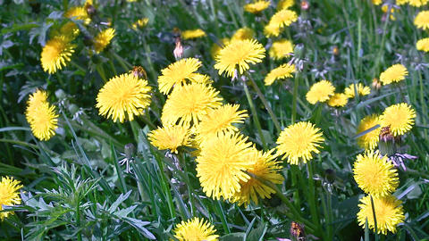Macro video shooting motion of blossoming dandelion flowers close-up from wind Live Action