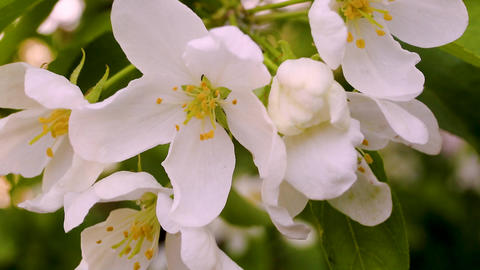 Macro video filming motion blossoming apple blossoms... Stock Video Footage
