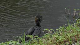 anhinga swallows a large fish Footage