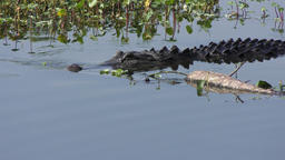 Large alligator swims in Florida lake Footage