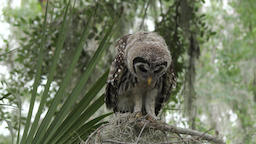 Young barred owl perched Footage
