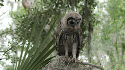 young barred owl calls for its mother Footage