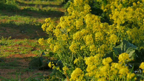 Broccoli flowers after harvest and bee taking pollen Footage