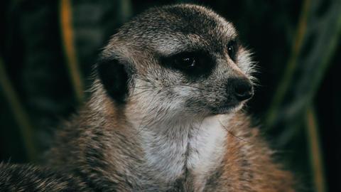 Meerkat staring alertly. 4K footage Footage