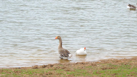 Two domestic goose on pond Footage