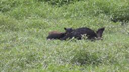 Wild boar mother feeding her piglets Footage