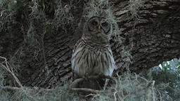 barred owl hooting in a tree Footage