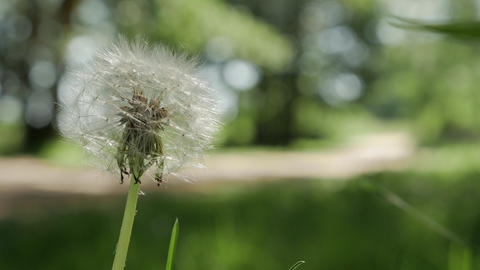 Dandelion Seed Head ,on blurry background, close-up GIF