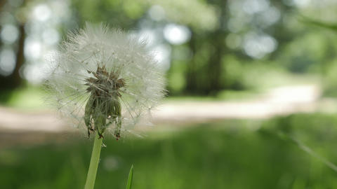 Dandelion Seed Head ,on blurry background, close-up Footage