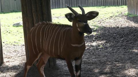 Mountain bongo antelope Tragelaphus eurycerus. Extremely rare animal Footage