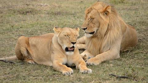 lions Live Action