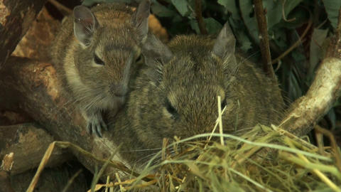 Family of field mice Stock Video Footage