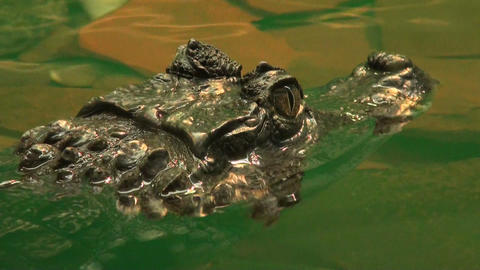 Crocodile ready to an attack Stock Video Footage