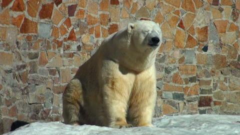polar bear is heated on the sun Stock Video Footage