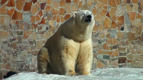 polar bear is heated on the sun Footage
