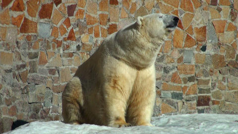 polar bear is heated on the sun Stock Video Footage