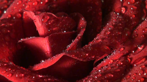 The red rose Stock Video Footage