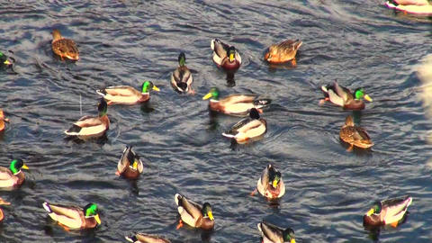 Ducks on water Stock Video Footage