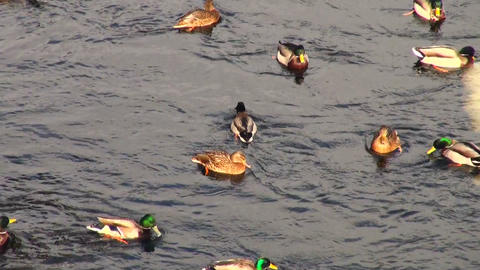 Ducks on water Footage